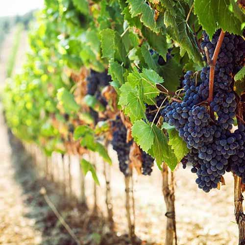 Cretan Wineries